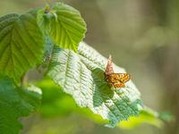 Le Damier du frêne est très lié aux jeunes frênes des sous-bois et des milieux marécageux