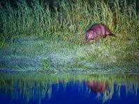 Een bever zit op de oever rustig te knabbelen aan wat gras. © Billy Herman