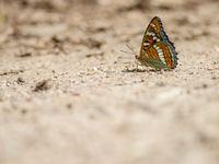 Le grand sylvain est une papillon qui ne vole qu'environ deux semaines par an. Il faut donc être sur place au bon moment !