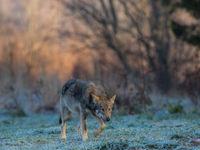 Een mysterieuze Wolf © STARLING reizen