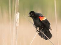 Red-winged blackbird. © Johannes Jansen