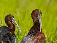 Een poetssessie voor de zwarte ibissen. © STARLING reizen