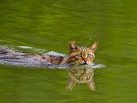 Wie zei dat katten bang zijn van water? © STARLING reizen