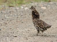 Ruffed grouse is een van de meest voorkomende soorten boshoenders. Je hoort ze vaak eerder dan je ze ziet. © Joachim Bertrands