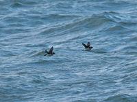 Mergules nains en vol près de la jetée © Noé Terorde