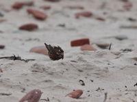 Grive mauvis de la sous-espèce islandaise © Noé Terorde