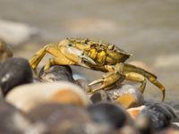 Noordzeekrabben zie je niet vaak levend op het droge... © Jef Pauwels