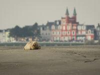 Een rustende zeehond met de bebouwing op de achtergrond. © Jef Pauwels