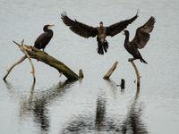 Roestende aalscholvers drogen hun veren. © Jef Pauwels