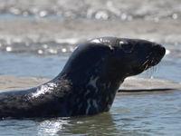 Een jonge grijze zeehond kruipt uit het water. © Joris Debleser