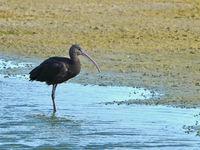 Een zwarte ibis, geen algemene gast in dit gebied! © Joris Debleser