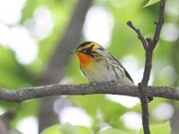 Blackburnian warbler - Dendroica fusca. © Johannes Jansen