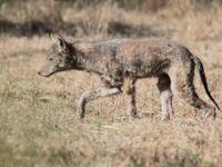 Coyote - canis latrans. © Johannes Jansen
