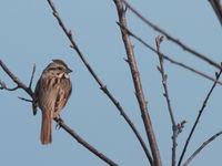 Song sparrow - melospiza melodia. © Johannes Jansen