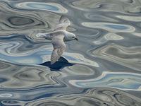 Rakelings over het water beweegt deze noordse stormvogel zich voort. © Yves Adams