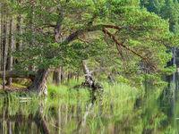 Grove dennen langs de waterkant. © Bart Heirweg