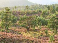 In de nazomer begint de hei te bloeien en krijgen we prachtige taferelen te zien. © Bart Heirweg