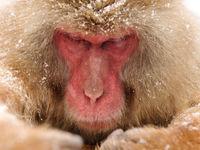 Deze makaak geniet van het warme water. © Yves Adams