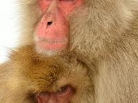 Tederheid bij de Japanse makaken. © Yves Adams