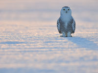 Een vrouwtje sneeuwuil vanuit een laag standpunt. © Yves Adams