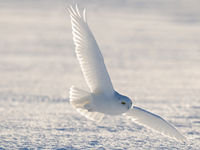 Een mannetje sneeuwuil komt ingevlogen. © Yves Adams