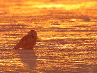 Vrouwtje sneeuwuil onder een warme avondzon. © Yves Adams