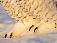 Close-up van de klauwen. © Yves Adams