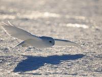 Een mannetje sneeuwuil onder de winterzon. © Yves Adams
