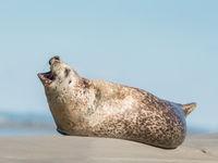 Een zeehond heeft venijnige kaken! © Sandy Spaenhoven