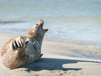 Een zeehond ligt op te drogen in de zon. © Sandy Spaenhoven
