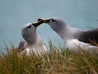 Grey-headed albatrosses tijdens de balts. © Frederik Willemyns