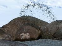 Een zuidelijke zeeolifant werpt wat zand op om parasieten te voorkomen. © Frederik Willemyns