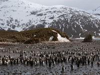 Een sfeerbeeld van de koningpinguïns. © Frederik Willemyns