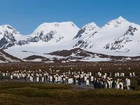 De laaglanden van Zuid-Georgia bestaan uit moeras en zijn uitstekend als leefgebied voor pinguïns. © Frederik Willemyns