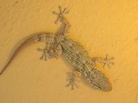 L'aisance d'escalade des geckos est surprenante