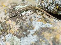 De nombreux reptiles s'observent en Espagne