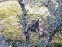 Le lynx ibérique en pleine toilette
