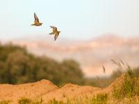 Twee witbuikzandhoenen in vlucht. © Rudi Debruyne