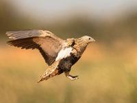 Een vrouwtje zwartbuikzandhoen komt ingevlogen. © Rudi Debruyne