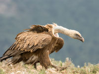 Een vale gier op stap. © Rudi Debruyne
