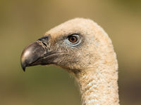 Een close-up van een vale gier. © Rudi Debruyne