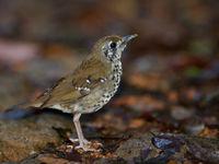 Spot-winged thrush, een verwant van de in onze contreien beter bekende goudlijster. © Billy Herman