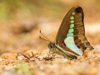 Een dagvlinder zoekt naar mineralen op de bosbodem. © Billy Herman