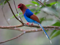 Sri Lanka blue magpie. © Billy Herman