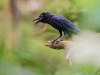 Indian jungle crow laat z'n rauwe roep horen. © Billy Herman