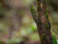 Lyre head lizard, van een vreemde verschijning gesproken. © Billy Herman