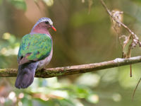 Common emerald dove is een soort die meestal schaduwrijke bospaden uitkiest, en goede waarnemingen als deze zijn dan ook schaars. © Billy Herman