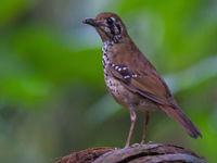 Een spot-winged thrush liet zich mooi fotograferen. © Billy Herman