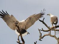 Een koppel white-bellied sea-eagles nabij de nestplaats. © Billy Herman