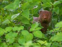 Deze ruddy mongoose had er niet op gerekend onze groep tegen te komen op zijn zwerftochten. © Billy Herman